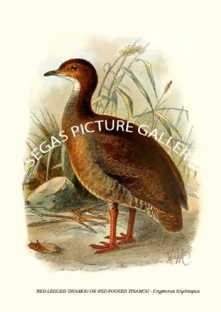 RED-LEGGED TINAMOU OR RED-FOOTED TINAMOU - Crypturus Erythropus